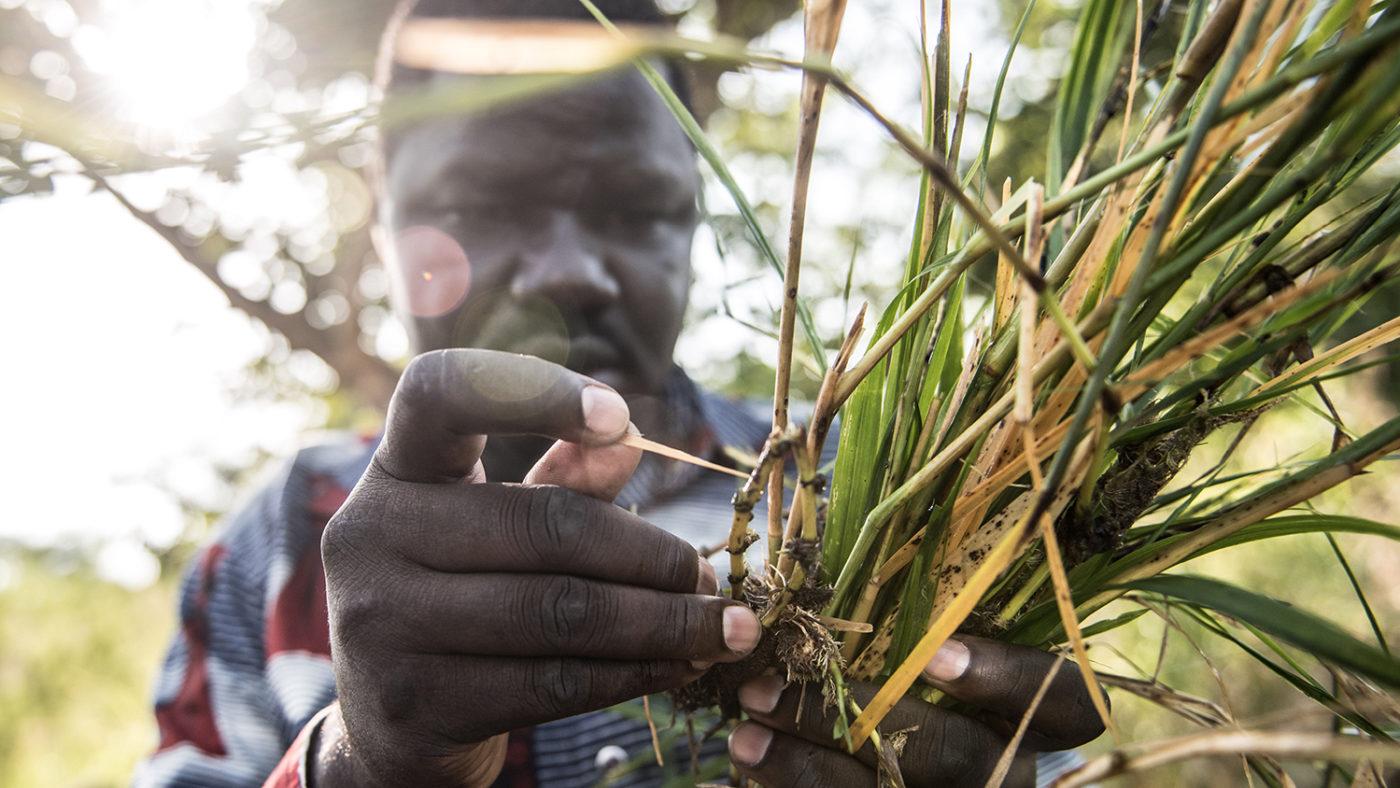 A man examines black fly larvae found near the the Agogo river in northern Uganda.