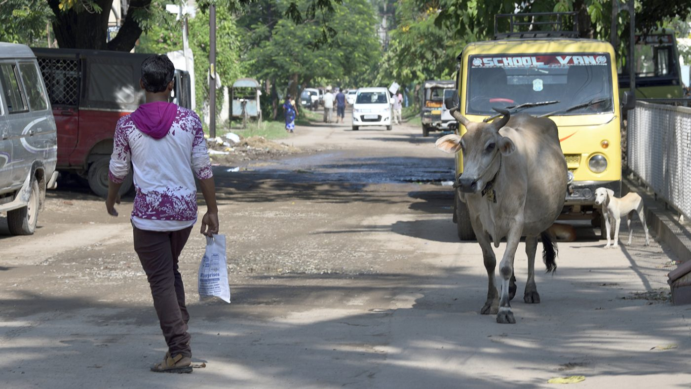A cow wanders in the road in Bihar, India.