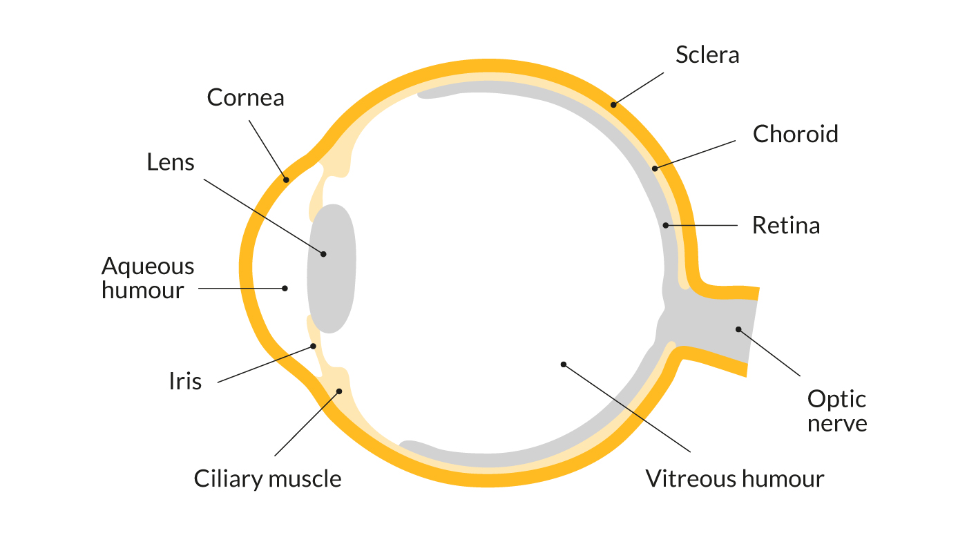 A diagram showing the parts of the eye, including the cornea, lens, iris and ciliary muscle at the front of the eye, plus the aqueous humour. At the rear, it shows the sclera, choroid, retina and optic nerve. The vitreous humour is in the centre.