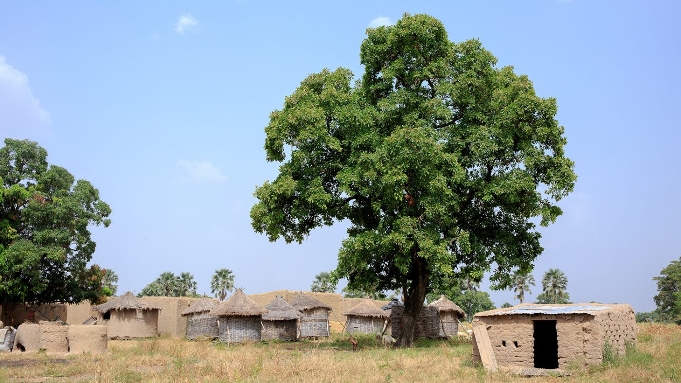 Mud huts next to a large tree.