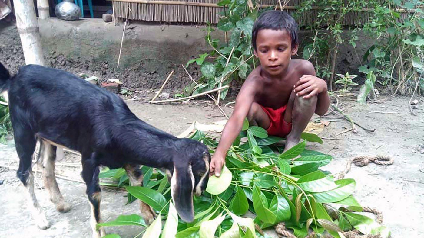 Majidul feeds his goat.