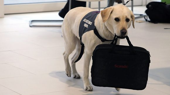 A guide dog holding a person's bag.
