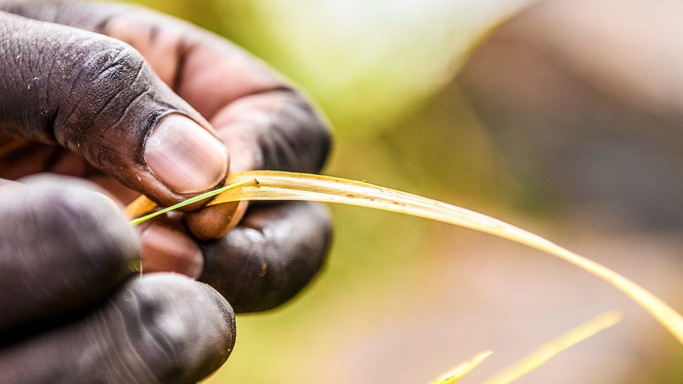 A close-up of a man's hand as he picks a fly from a leaf.