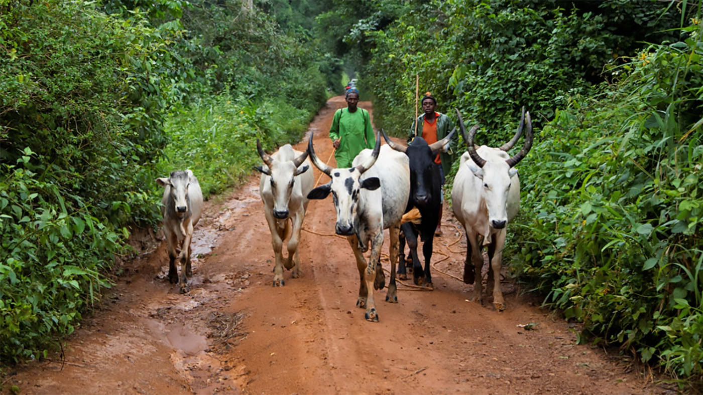 Two men herd cattle on a dirt road.