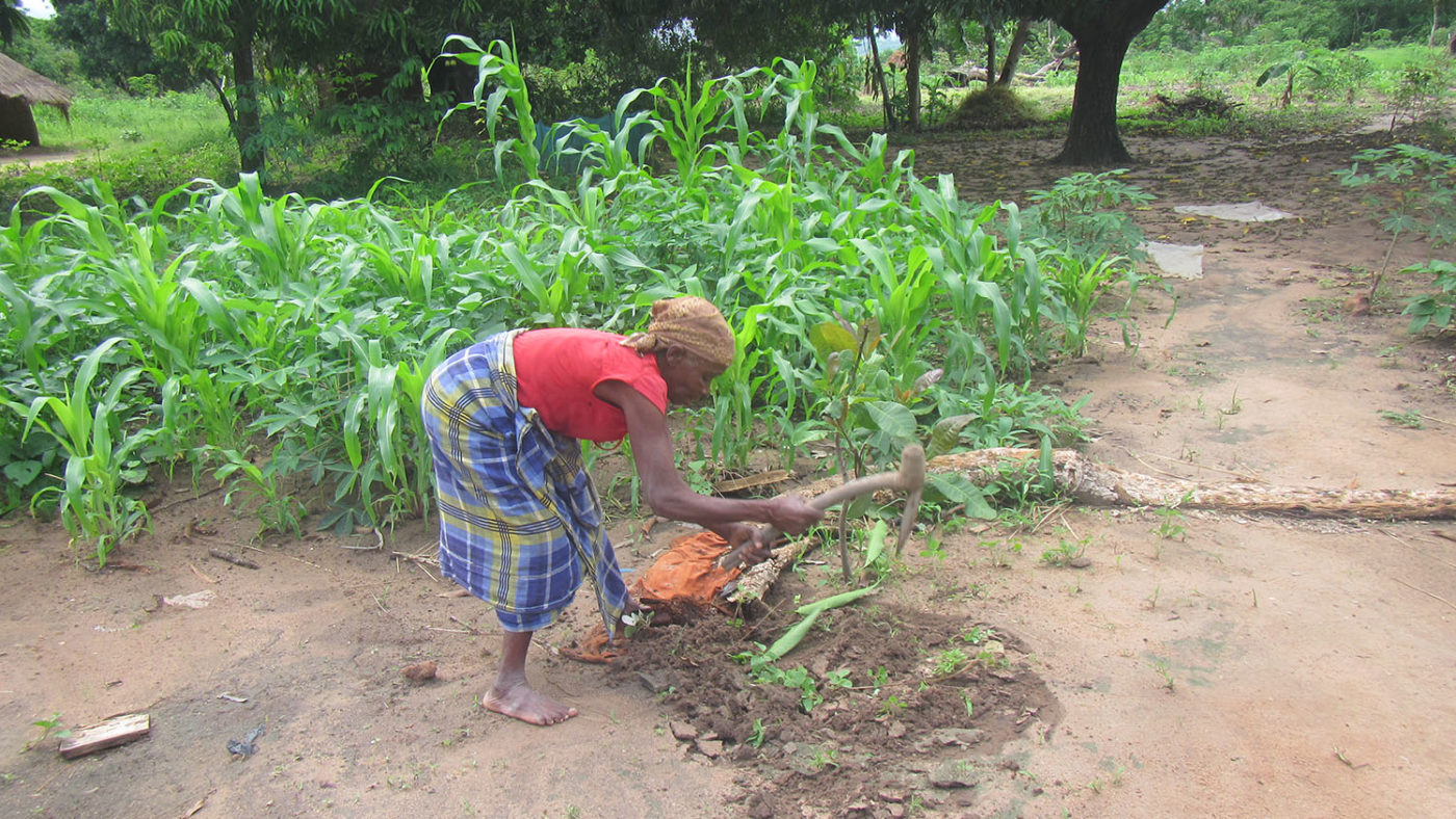 A woman uses tools to cut some crops.