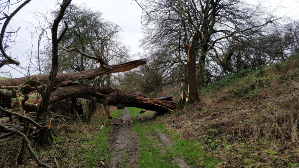 A tree blown over by high winds obstructing a muddy pathway