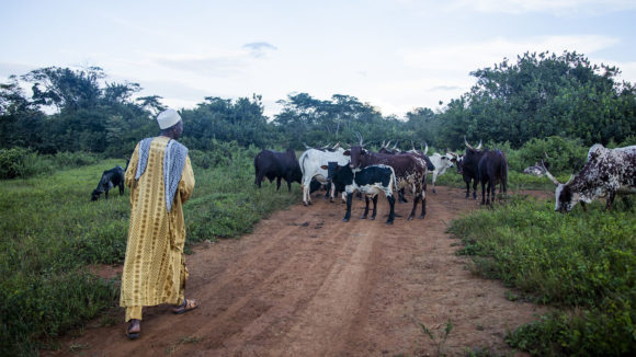 A man walks behind his cattle on a dirt road