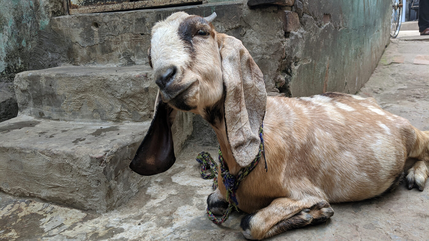 A goat sitting on the floor.