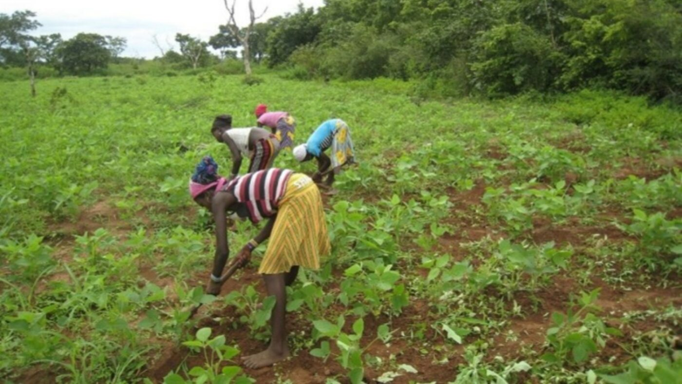 A group of woman are farming in a field of green vegetables.