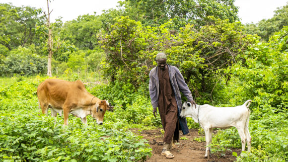 Adou stands in a lush green field with two cows.